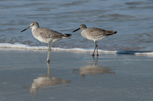 A pair of willets, an ordinarily solitary bird.
