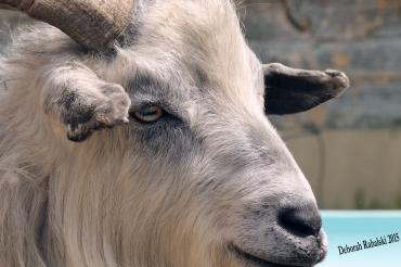goatdadEdit